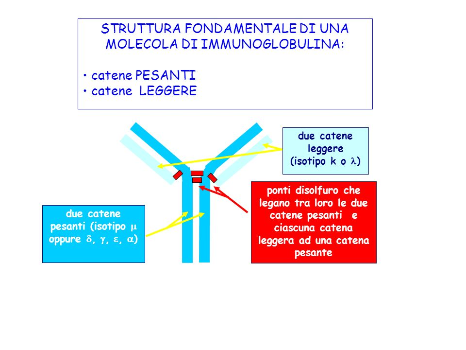 due catene pesanti (isotipo  oppure , , , )