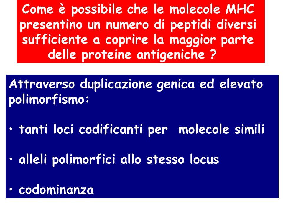 Come è possibile che le molecole MHC