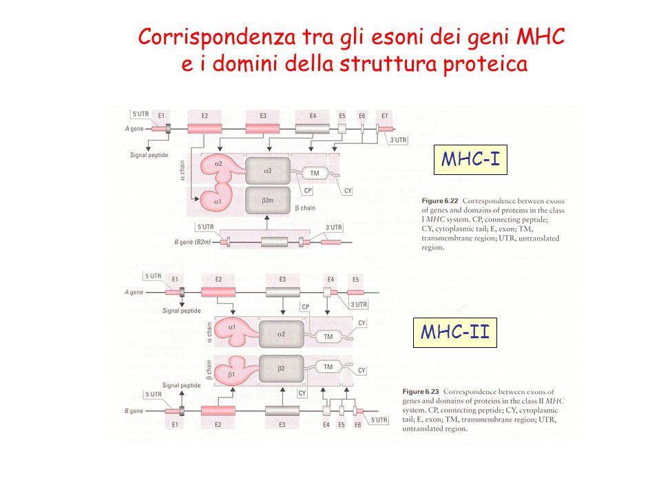 Corrispondenza tra gli esoni dei geni MHC