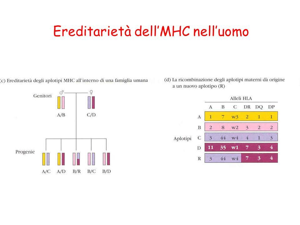 Ereditarietà dell'MHC nell'uomo