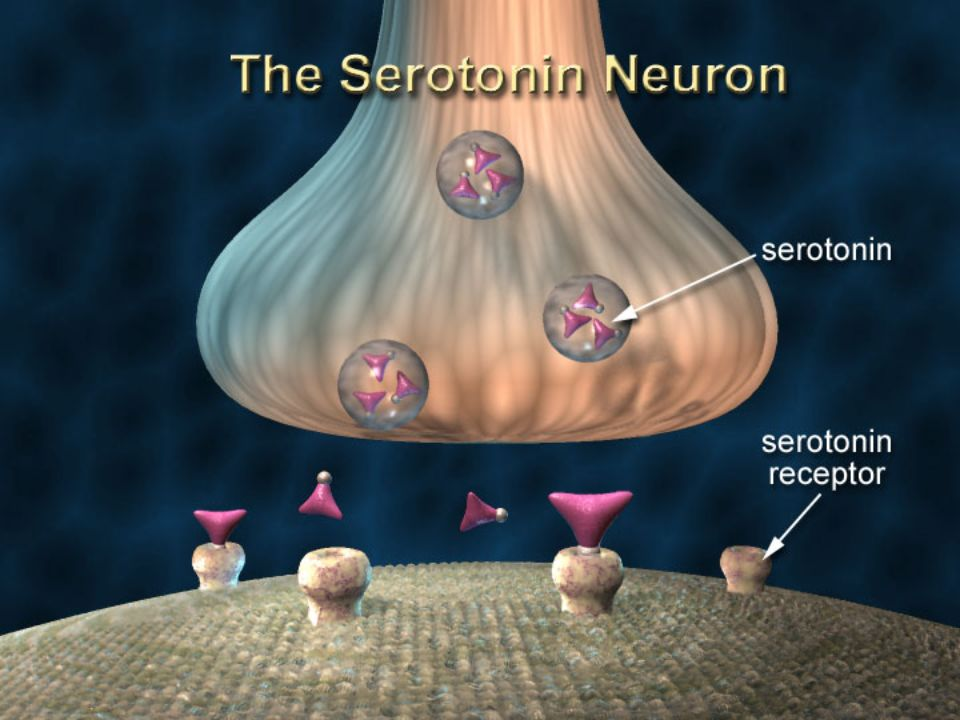 Slide 9: The Serotonin Neuron; The Major Target of Ecstasy