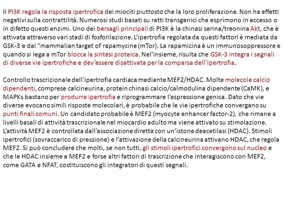 Il PI3K regola la risposta ipertrofica dei miociti piuttosto che la loro proliferazione. Non ha effetti negativi sulla contrattilità. Numerosi studi basati su ratti transgenici che esprimono in eccesso o in difetto questi enzimi. Uno dei bersagli principali di PI3K è la chinasi serina/treonina Akt, che è attivata attraverso vari stadi di fosforilazione. L'ipertrofia regolata da questi fattori è mediata da GSK-3 e dal mammalian target of rapamycine (mTor). La rapamicina è un immunosoppressore e quando si lega a mTor blocca la sintesi proteica. Nel'insieme, risulta che GSK-3 integra i segnali di diverse vie ipertrofiche e dev'essere disattivata per la comparsa dell'ipertrofia.
