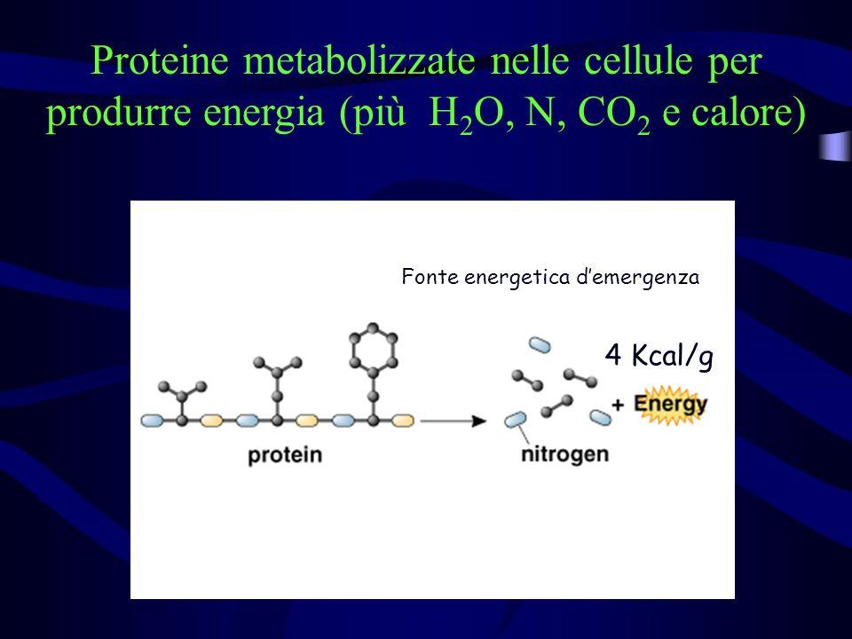 Proteine metabolizzate nelle cellule per produrre energia (più H2O, N, CO2 e calore)
