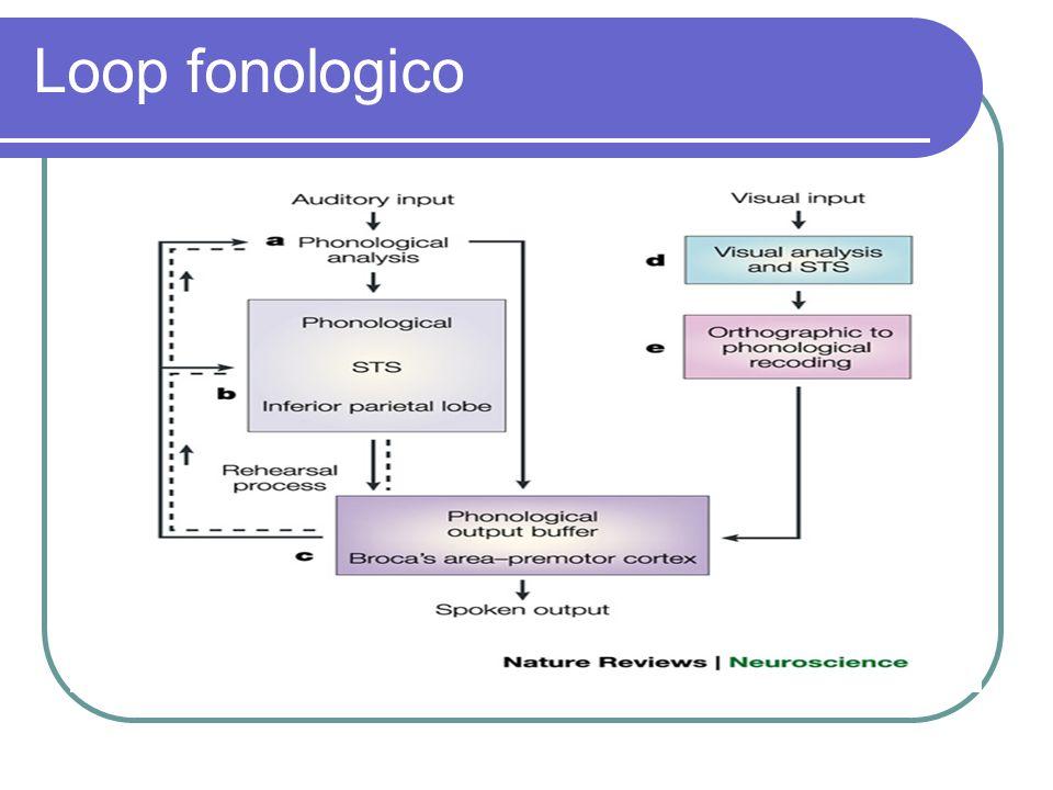 Loop fonologico