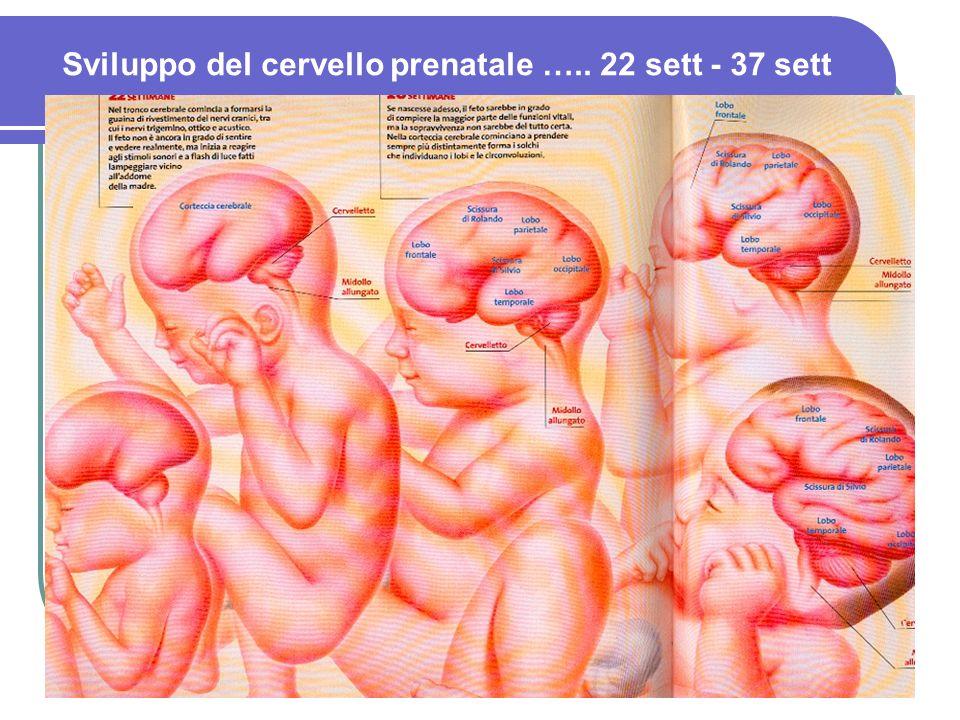 Sviluppo del cervello prenatale ….. 22 sett - 37 sett