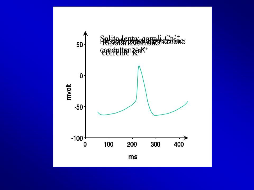 Salita lenta: canali Ca2+ Arresto ripolarizzazione: corrente Na+
