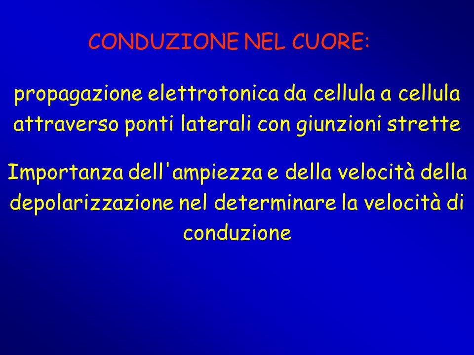 CONDUZIONE NEL CUORE:propagazione elettrotonica da cellula a cellula attraverso ponti laterali con giunzioni strette.