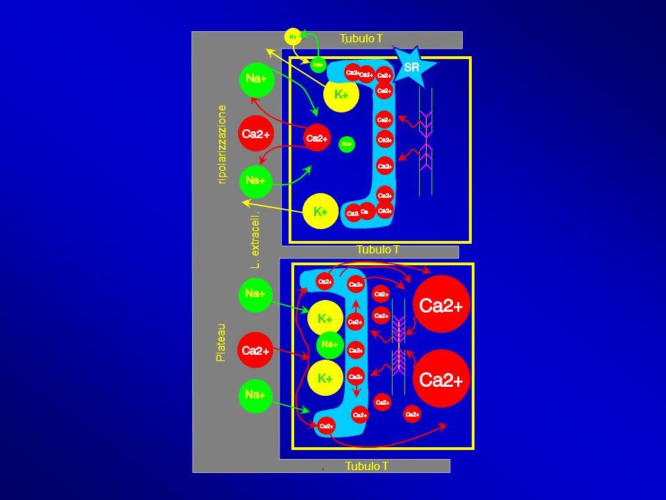 Tubulo T ripolarizzazione L. extracell. Tubulo T Plateau Tubulo T