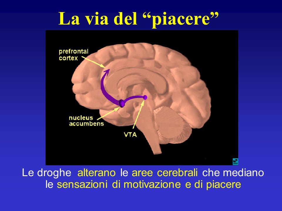 La via del piacere Le droghe alterano le aree cerebrali che mediano le sensazioni di motivazione e di piacere.