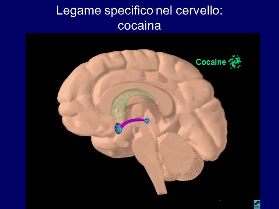 Legame specifico nel cervello: