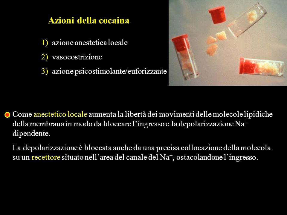 Azioni della cocaina 1) azione anestetica locale 2) vasocostrizione