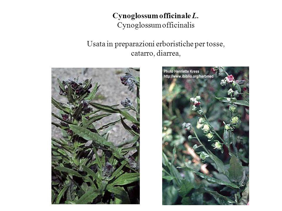 Cynoglossum officinale L. Cynoglossum officinalis