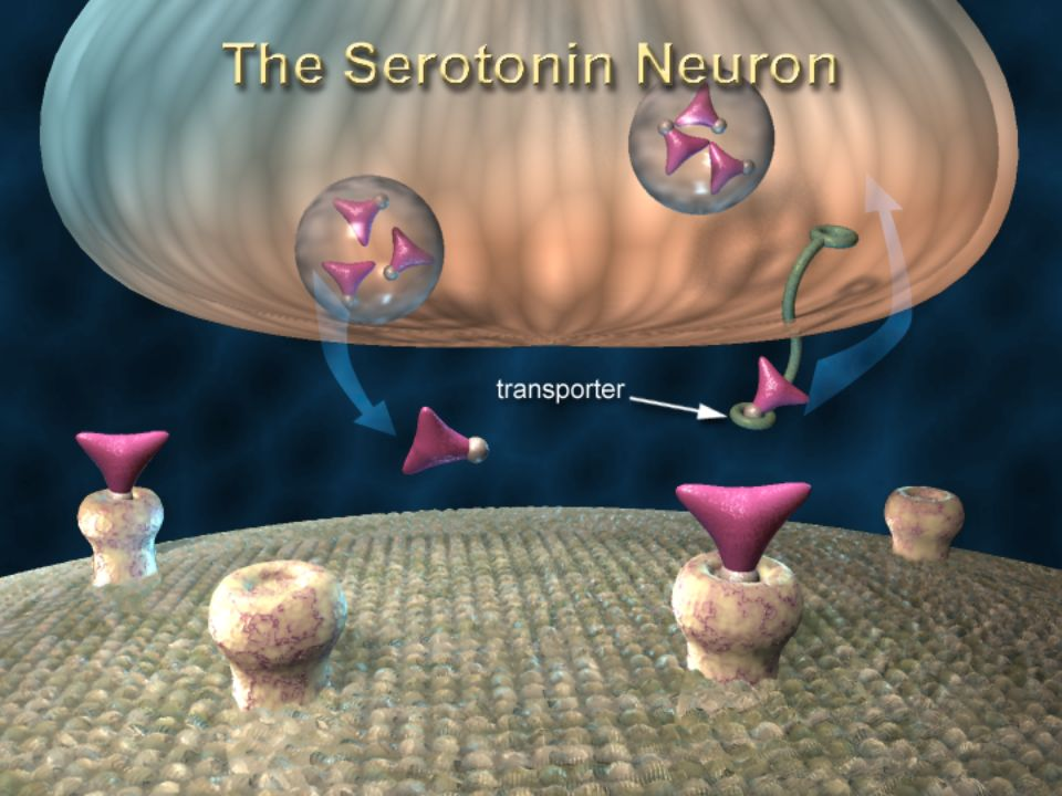 Slide 10: Serotonin Transporters