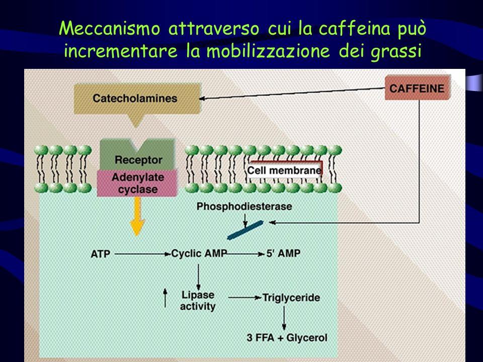 Meccanismo attraverso cui la caffeina può incrementare la mobilizzazione dei grassi