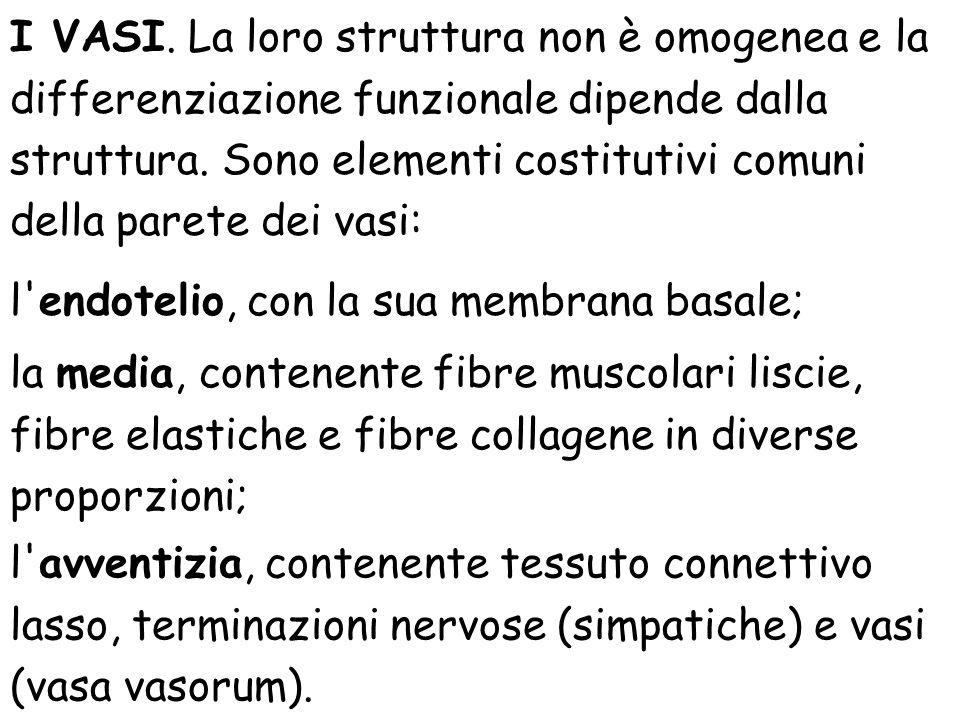I VASI. La loro struttura non è omogenea e la differenziazione funzionale dipende dalla struttura. Sono elementi costitutivi comuni della parete dei vasi:
