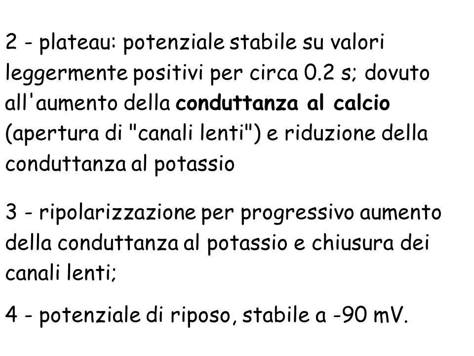 2 - plateau: potenziale stabile su valori leggermente positivi per circa 0.2 s; dovuto all aumento della conduttanza al calcio (apertura di canali lenti ) e riduzione della conduttanza al potassio
