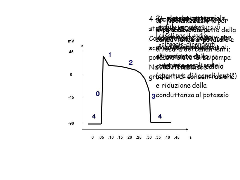 4 - potenziale di riposo, stabile a -90 mV