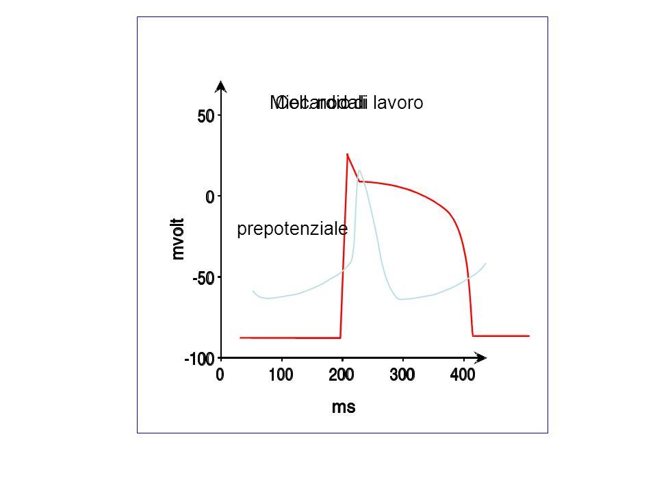Miocardio di lavoro Cell. nodali prepotenziale