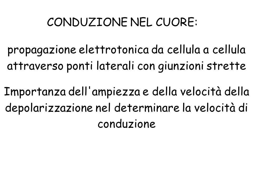 CONDUZIONE NEL CUORE: propagazione elettrotonica da cellula a cellula attraverso ponti laterali con giunzioni strette.