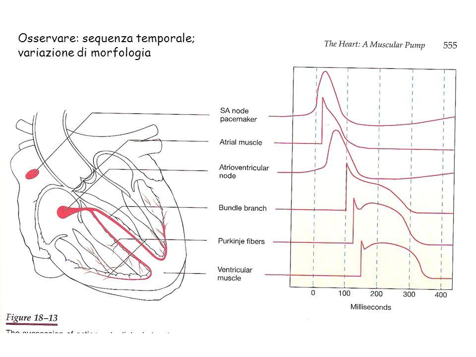Osservare: sequenza temporale; variazione di morfologia