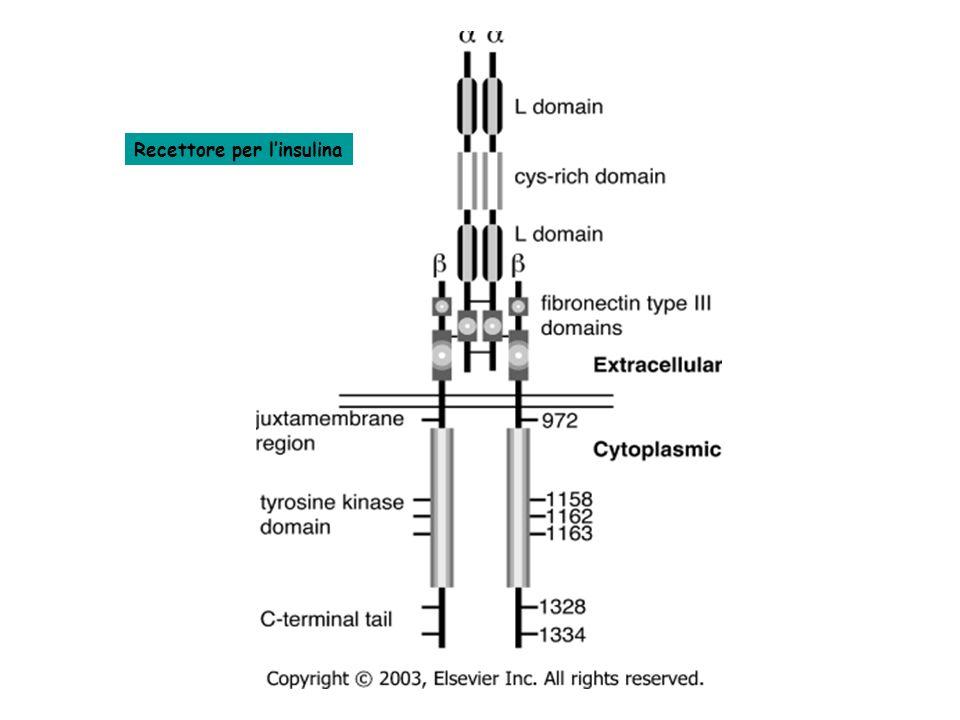 Recettore per l'insulina