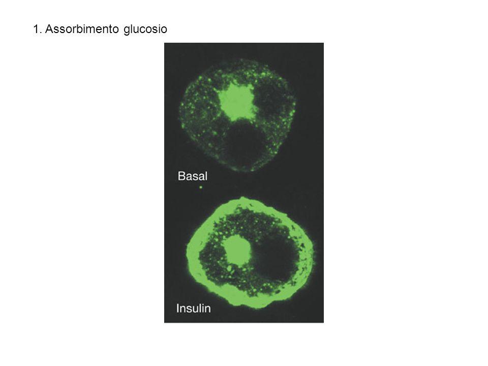 1. Assorbimento glucosio