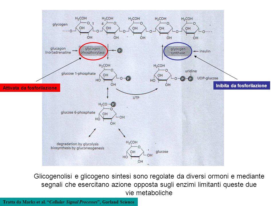 Inibita da fosforilazione