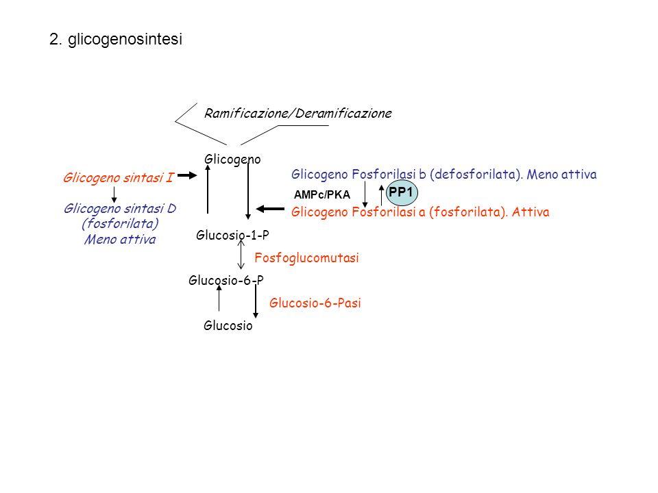 2. glicogenosintesi Ramificazione/Deramificazione Glicogeno