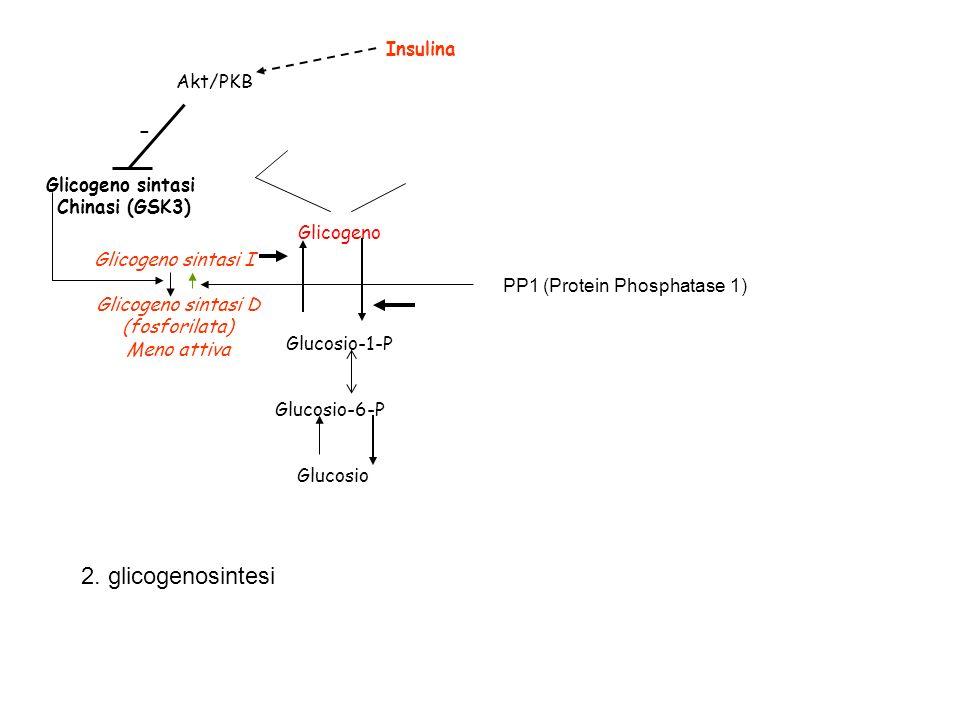 2. glicogenosintesi - Insulina Akt/PKB Glicogeno sintasi