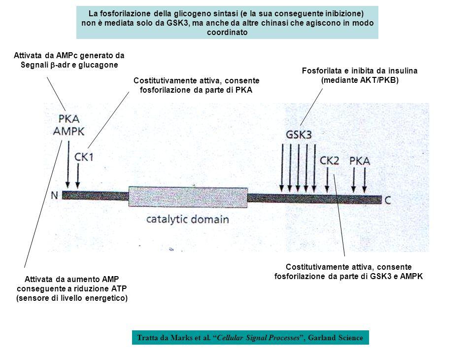 Attivata da AMPc generato da Segnali b-adr e glucagone