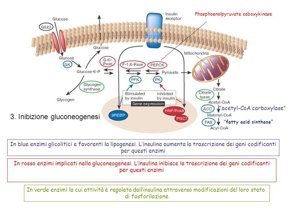 3. Inibizione gluconeogenesi