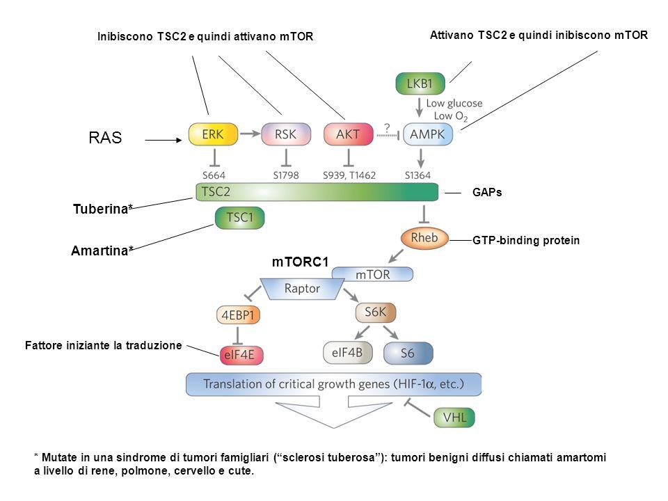 RAS Tuberina* Amartina* mTORC1 Inibiscono TSC2 e quindi attivano mTOR