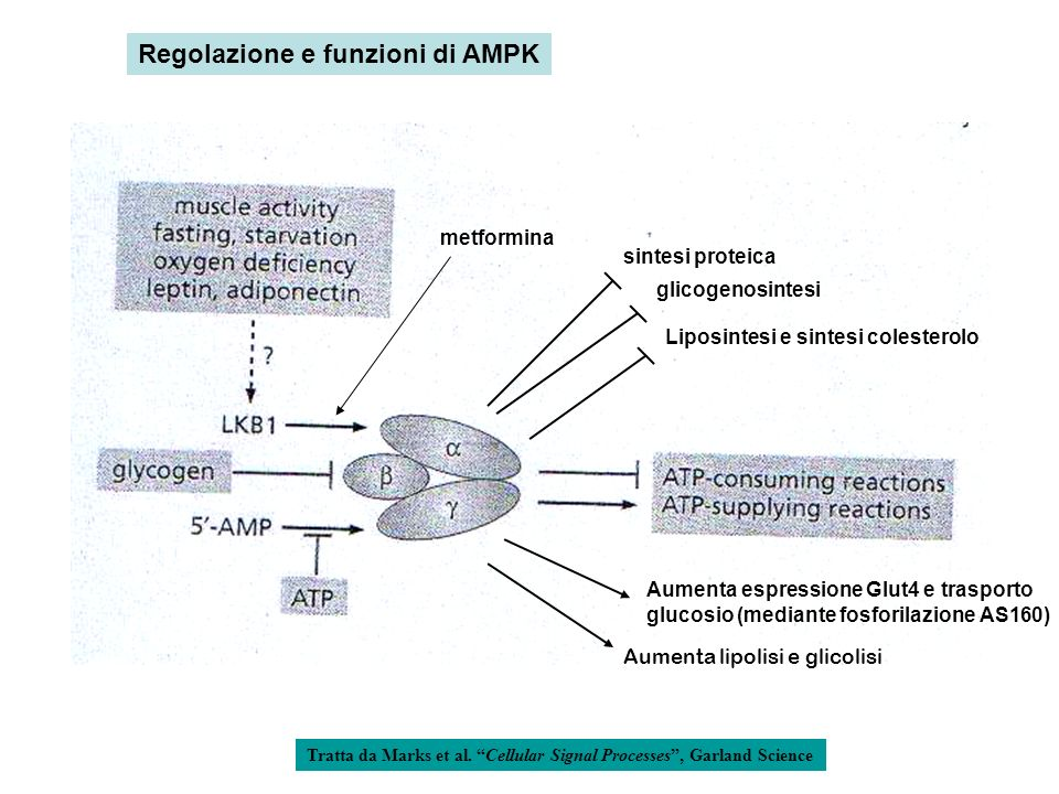 Regolazione e funzioni di AMPK