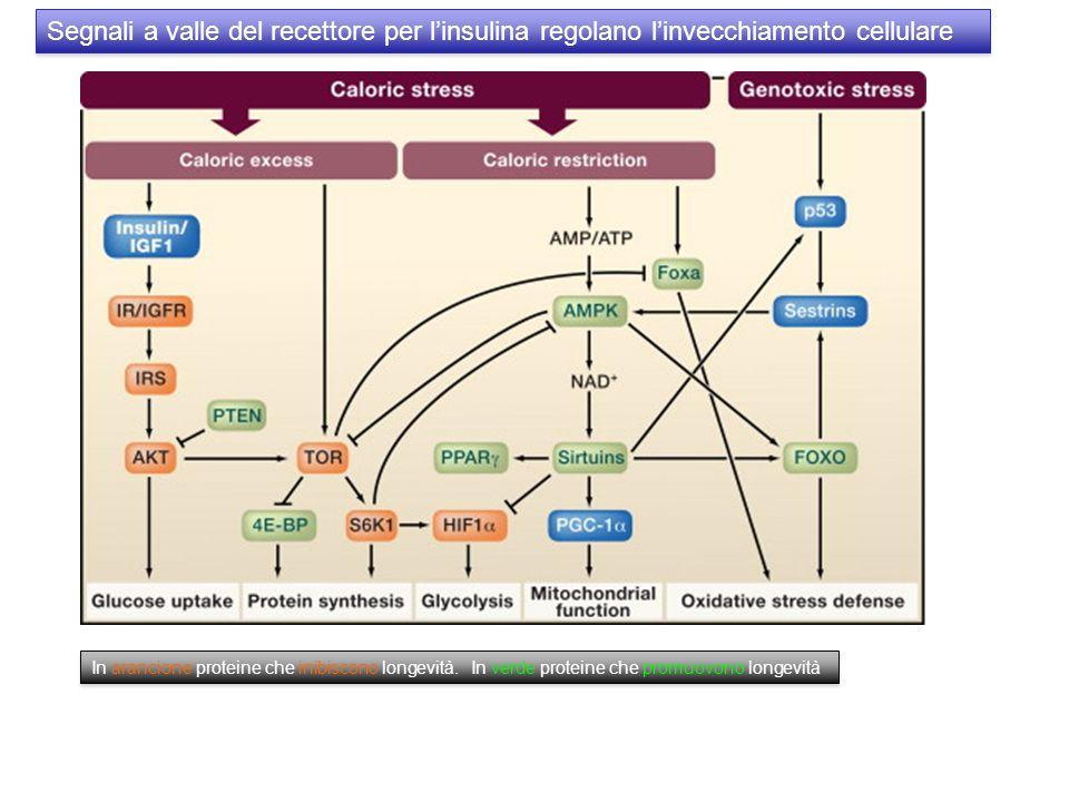 Segnali a valle del recettore per l'insulina regolano l'invecchiamento cellulare