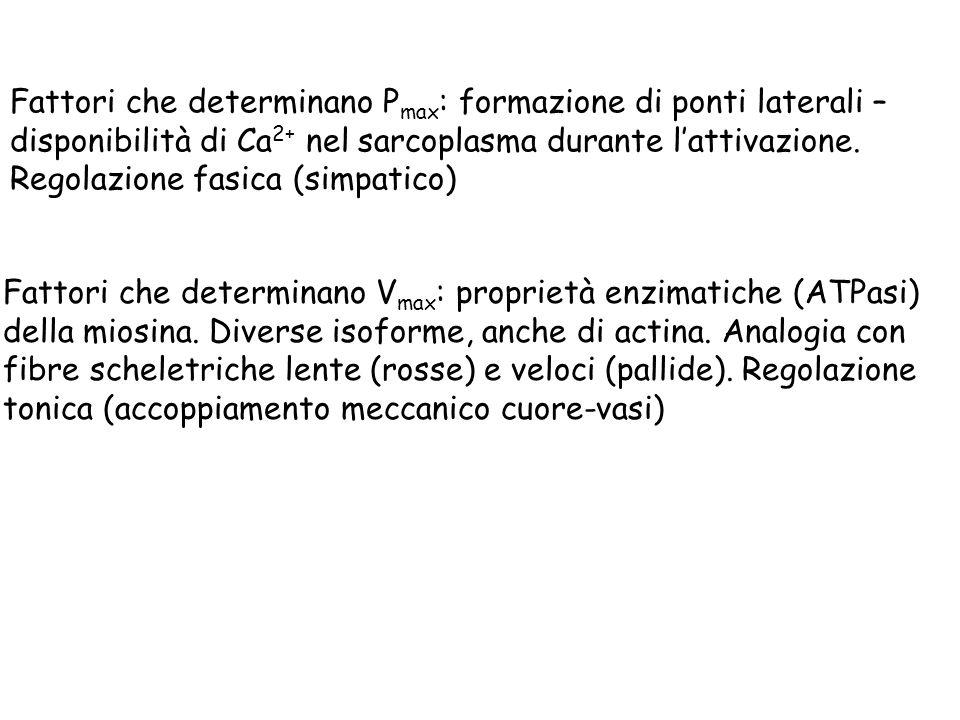 Fattori che determinano Pmax: formazione di ponti laterali – disponibilità di Ca2+ nel sarcoplasma durante l'attivazione. Regolazione fasica (simpatico)