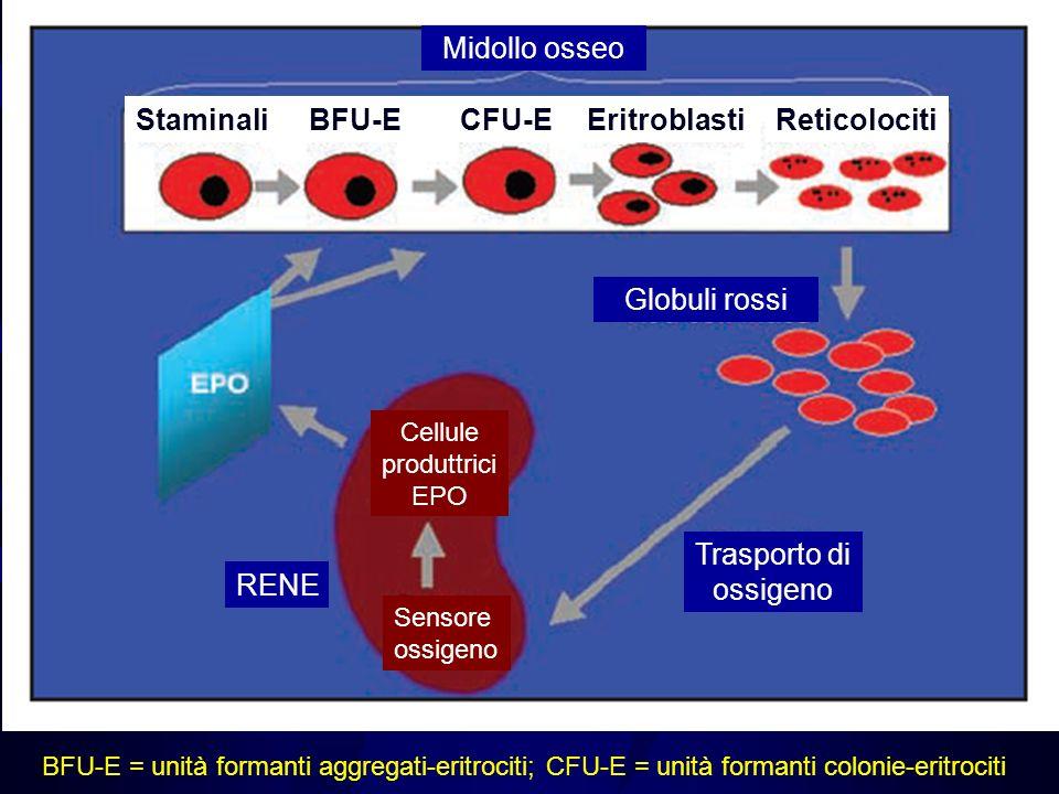 Midollo osseo Staminali Eritroblasti BFU-E CFU-E Reticolociti