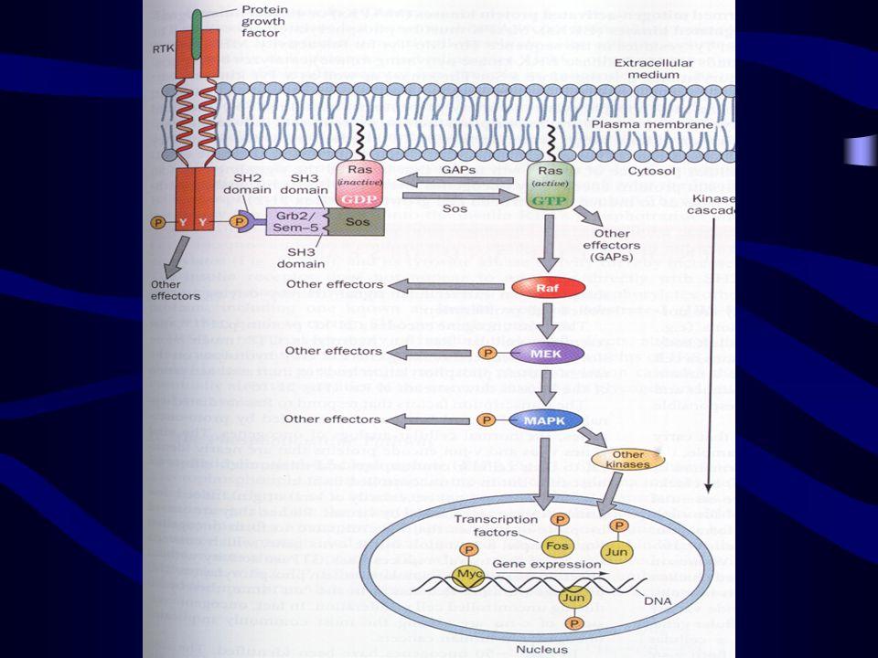 Cell Signaling via RTK and Ras Cell signaling via RTK e RAS