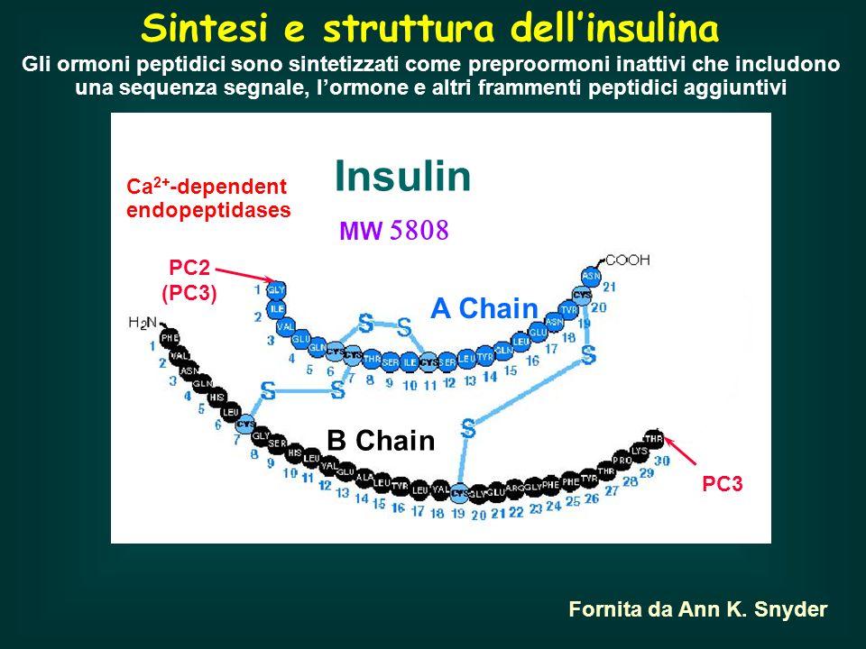Insulin Sintesi e struttura dell'insulina Proinsulin C peptide A Chain