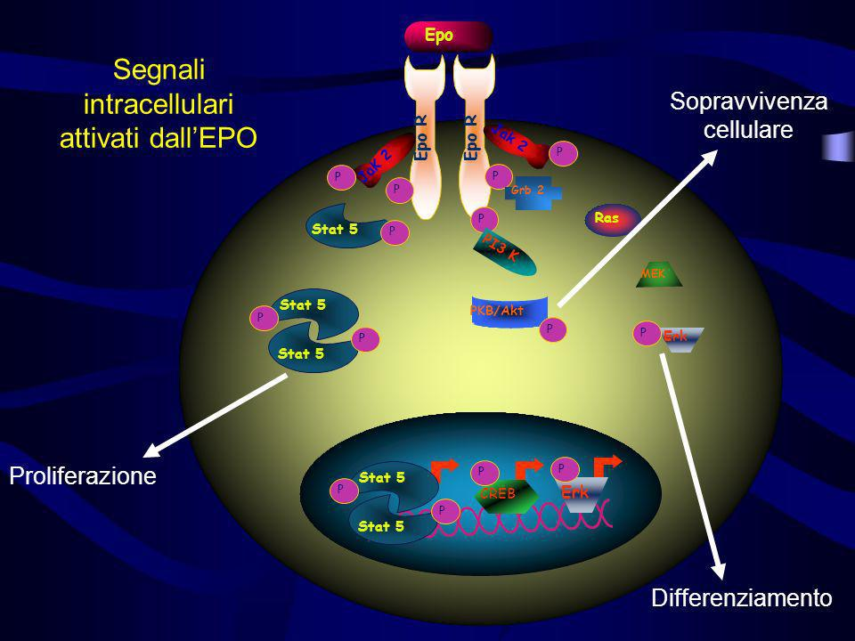 Segnali intracellulari attivati dall'EPO