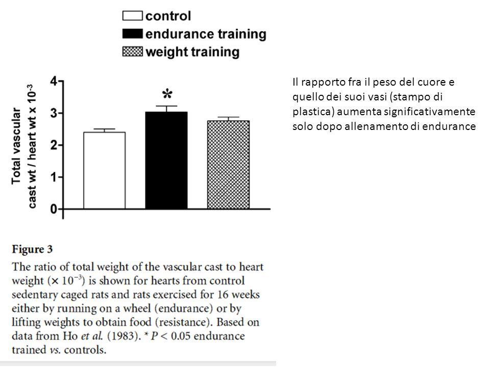 Il rapporto fra il peso del cuore e quello dei suoi vasi (stampo di plastica) aumenta significativamente solo dopo allenamento di endurance