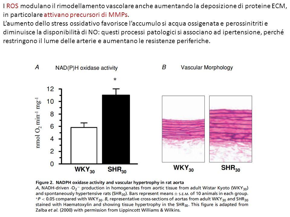 I ROS modulano il rimodellamento vascolare anche aumentando la deposizione di proteine ECM, in particolare attivano precursori di MMPs.