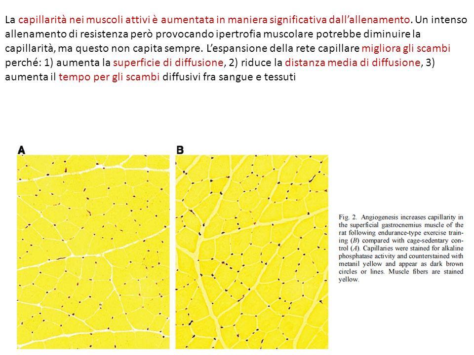 La capillarità nei muscoli attivi è aumentata in maniera significativa dall'allenamento.
