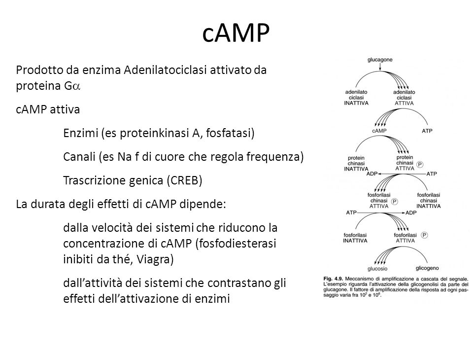 cAMP Prodotto da enzima Adenilatociclasi attivato da proteina Ga