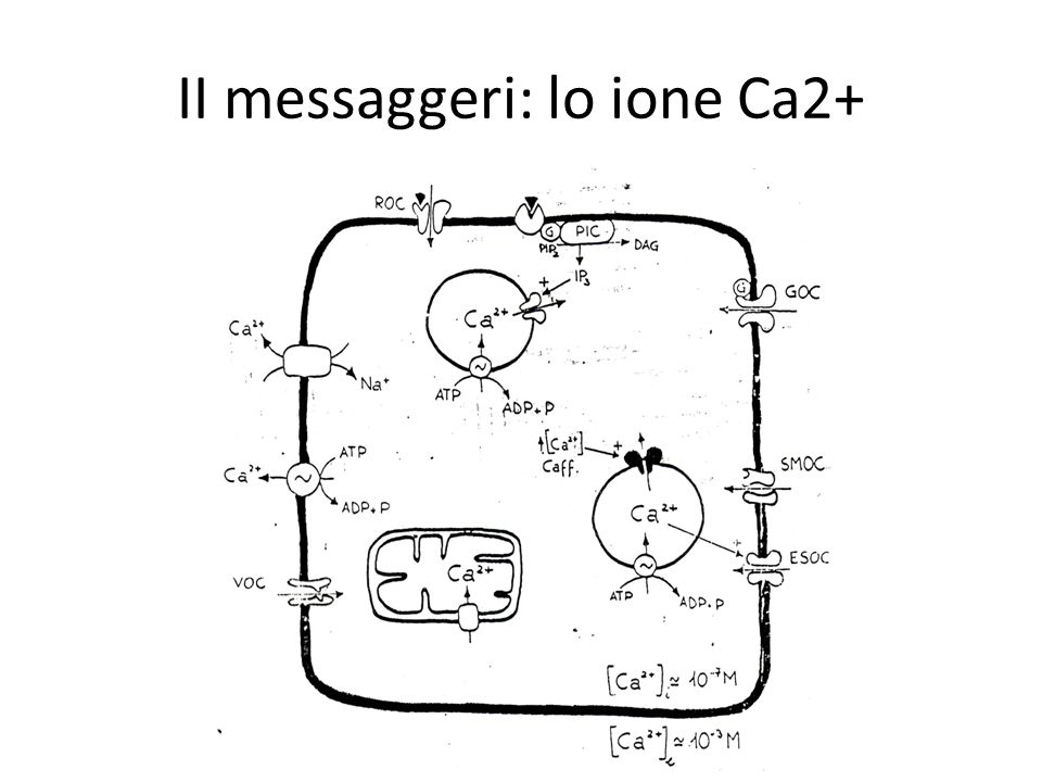 II messaggeri: lo ione Ca2+
