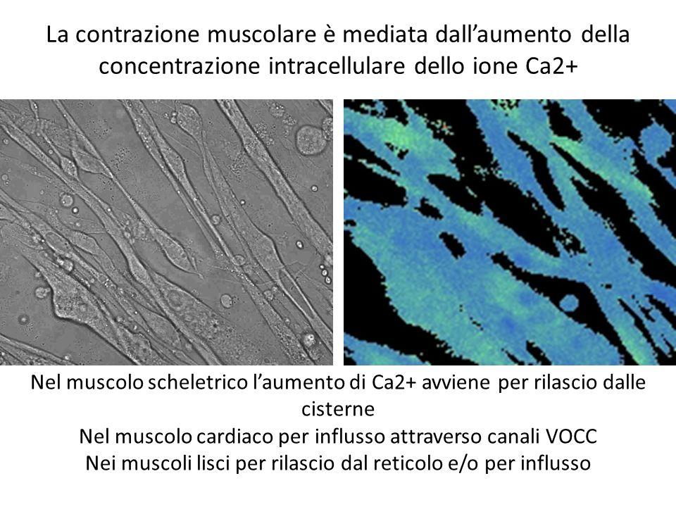 La contrazione muscolare è mediata dall'aumento della concentrazione intracellulare dello ione Ca2+