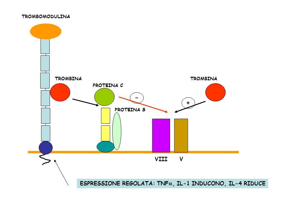 - + VIII V ESPRESSIONE REGOLATA: TNFa, IL-1 INDUCONO, IL-4 RIDUCE