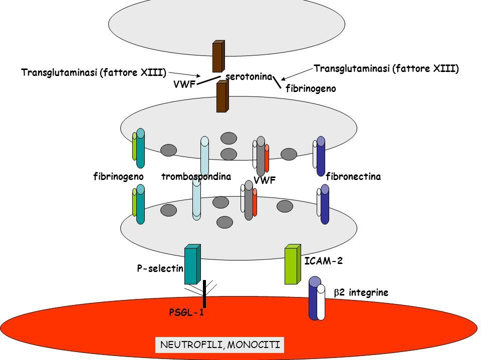 serotonina fibrinogeno. VWF. Transglutaminasi (fattore XIII) fibrinogeno. trombospondina. VWF.