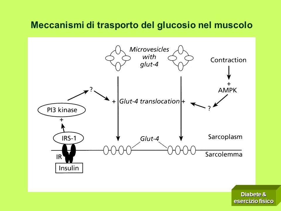 Meccanismi di trasporto del glucosio nel muscolo