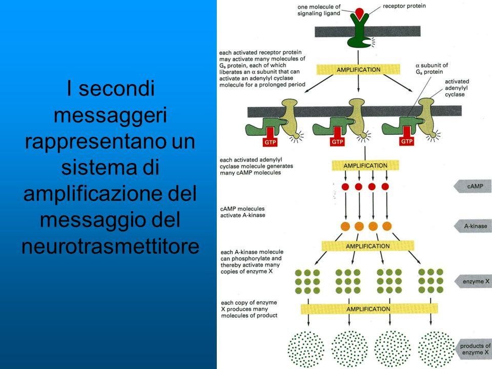 I secondi messaggeri rappresentano un sistema di amplificazione del messaggio del neurotrasmettitore