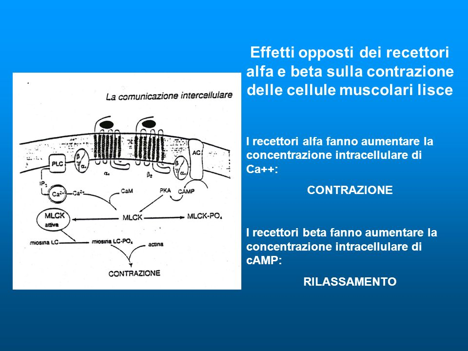 Effetti opposti dei recettori alfa e beta sulla contrazione delle cellule muscolari lisce